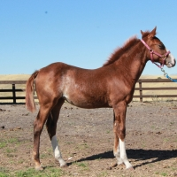 Merada Chic, 2014 Filly