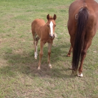 Peptoes Cat, 2015 Filly