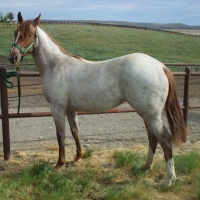 Sold - Shiney Peptoes, 2009 Filly