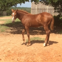 2015 Filly by Dual Rey & Ruby Tuesday