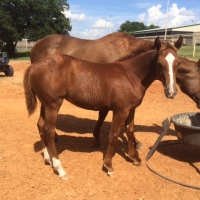 2015 Filly by Metallic Cat