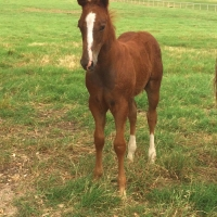 2015 Colt by Reys Dual Badger